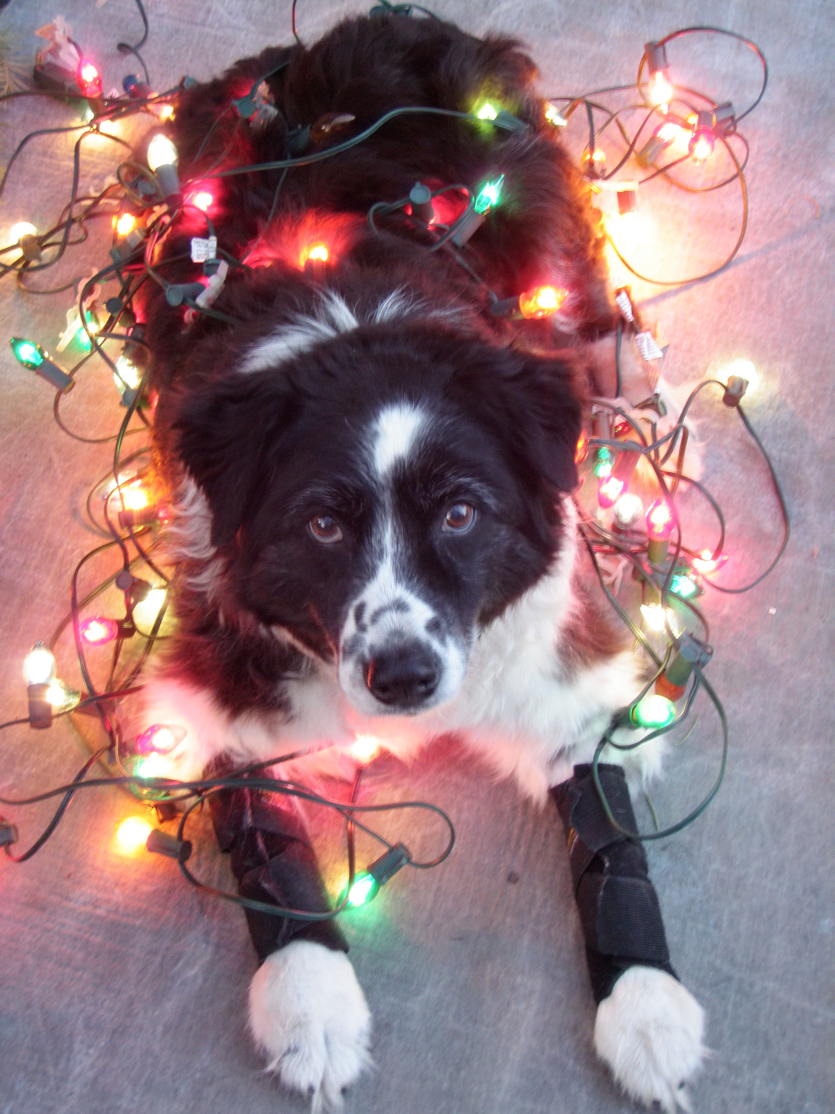 My angel faced 16 year old border collie, Abby | Border Collie Love ...