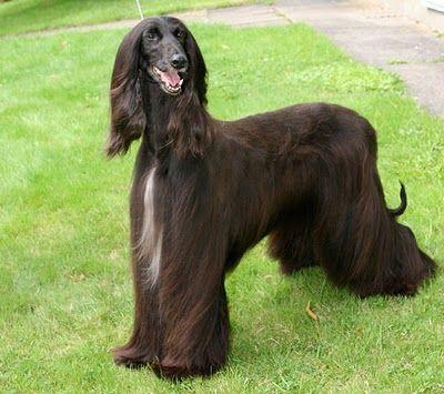 Afghan Hound Dog Names Afghan Hound Hound Breeds Dog Breeds