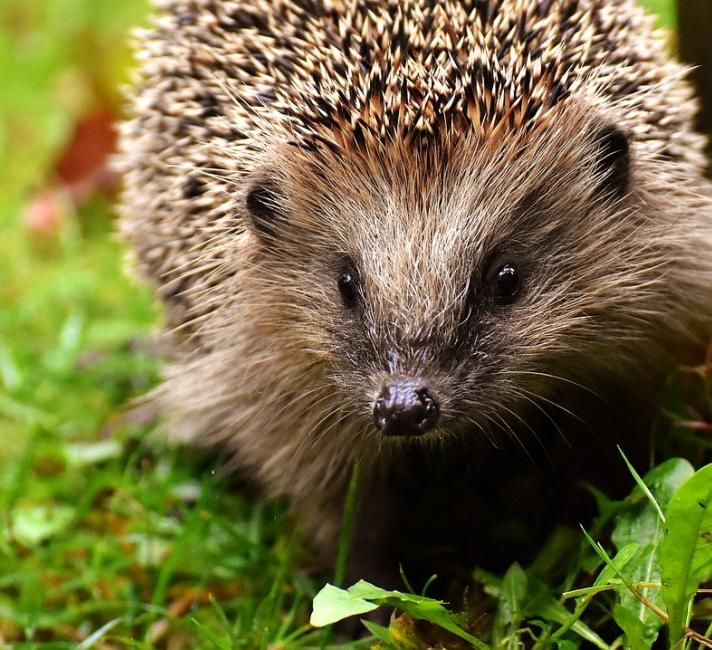 5 Threats To Uk Wildlife In 2020 Animals That Hibernate Hedgehog Pet Hedgehog Facts