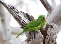 Find a Bird  BirdLife   scaly-breasted  lorikeet