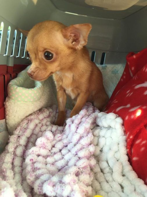 This Chihuahua Was Petrified In Her Cage, Until Someone 600 Miles Away Lent A Helping Hand..