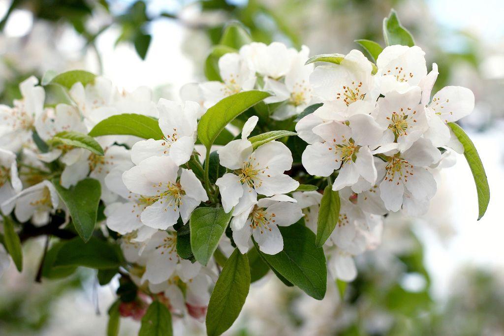 Crap Apple Blossom, NH, Spring 2009 | Flickr - Photo Sharing!