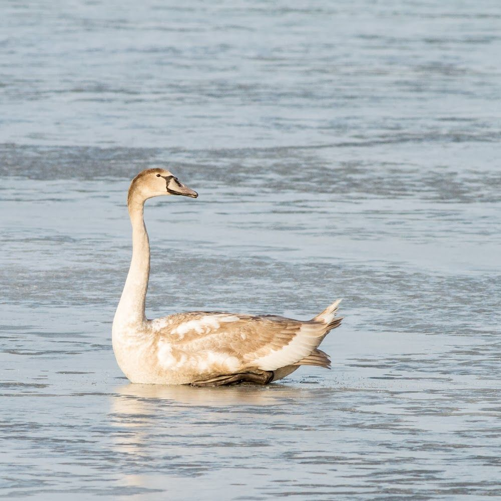 Young Mute Swan on sea ice, by Heikki Rantala