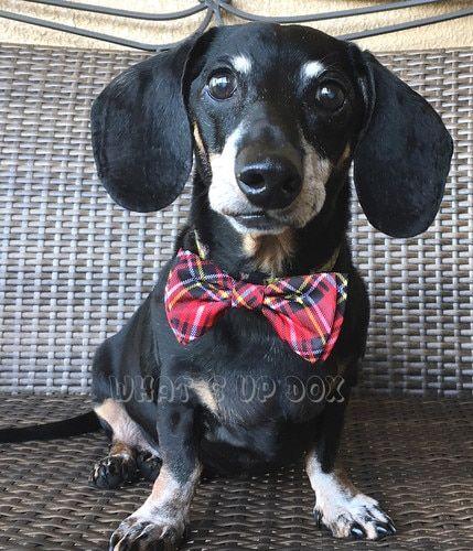 Squirrels Bow Tie Blue Dog bowtie, Dog bows, Dachshund