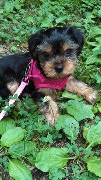 Yorkshire Terrier Puppy For Sale In Midlothian Va Adn 34129 On Puppyfinder Com Gender Female Age Yorkshire Terrier Puppies Yorkshire Terrier Terrier Puppy