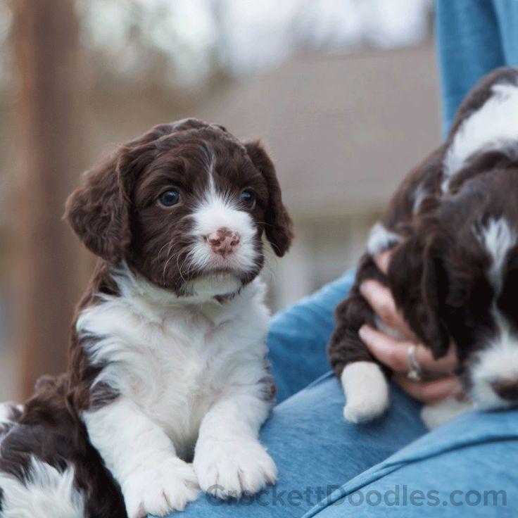 Springerdoodle puppies are soooo cute!! | Stunning Springerdoodles