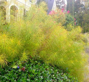Amsonia Hubrichtii Plants Foliage Plants Perennials
