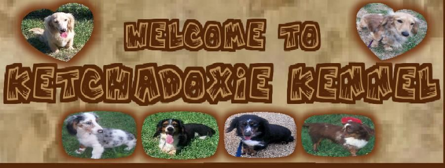 Ketchadoxie Kennel Mini Dachshunds Corgis Oklahoma Ketchum