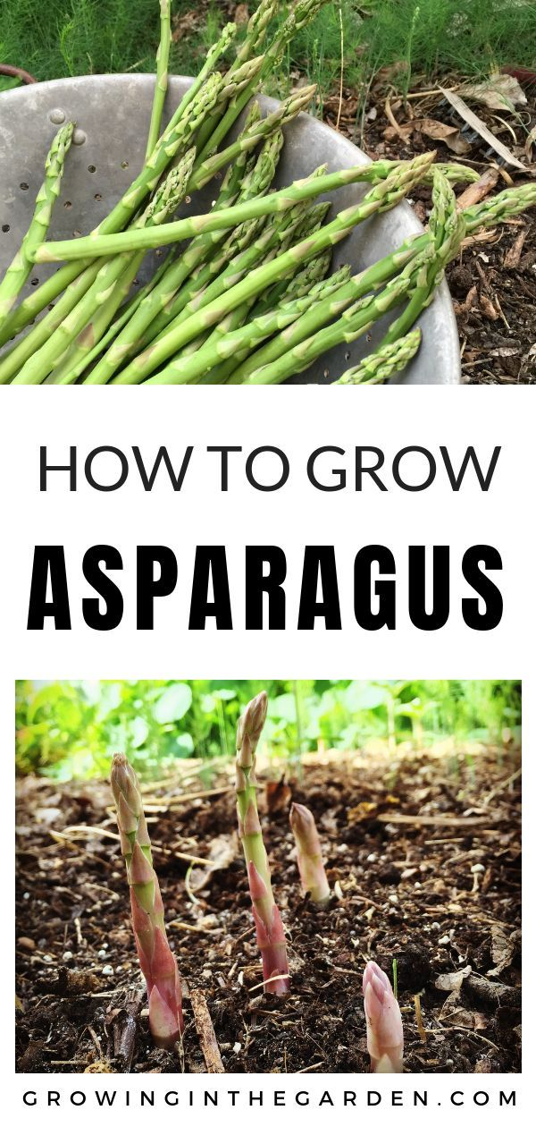Six Things to Know Before You Plant Asparagus #howtogrowvegetables