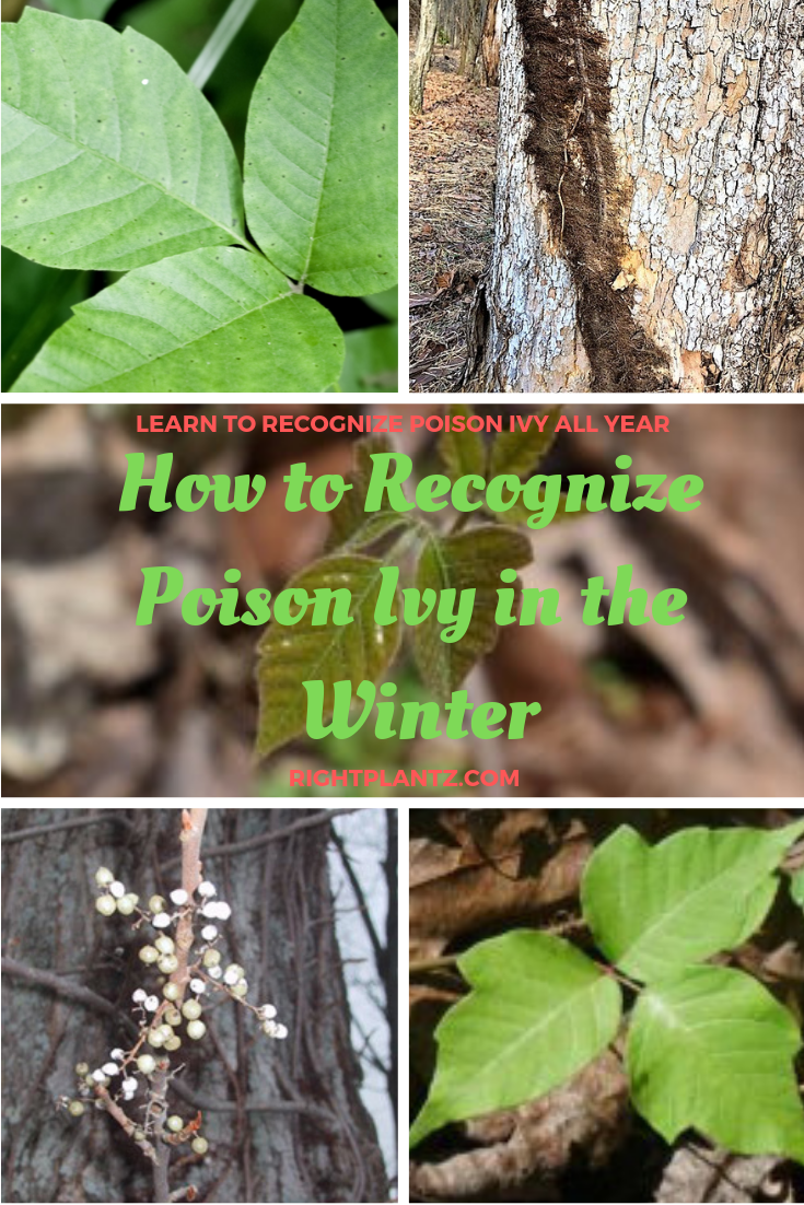 752d1313f9d548a26b8b69f43acffcfb - How To Get Poison Ivy Oil Out Of Clothes