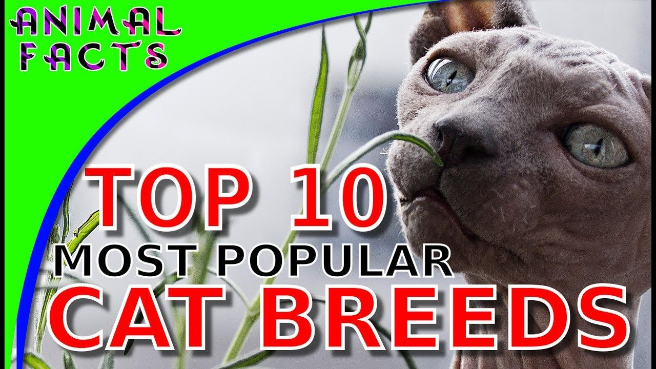 Top 10 Most Popular Cat Breeds Cats 101 Cats Pinterest
