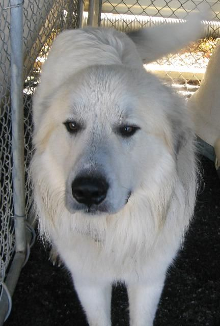 #DogsInDanger GOLIATH Great Pyr in Johnson City, TN is scheduled to die. Adopt him now!  Euthanasia  date 1-18-15
