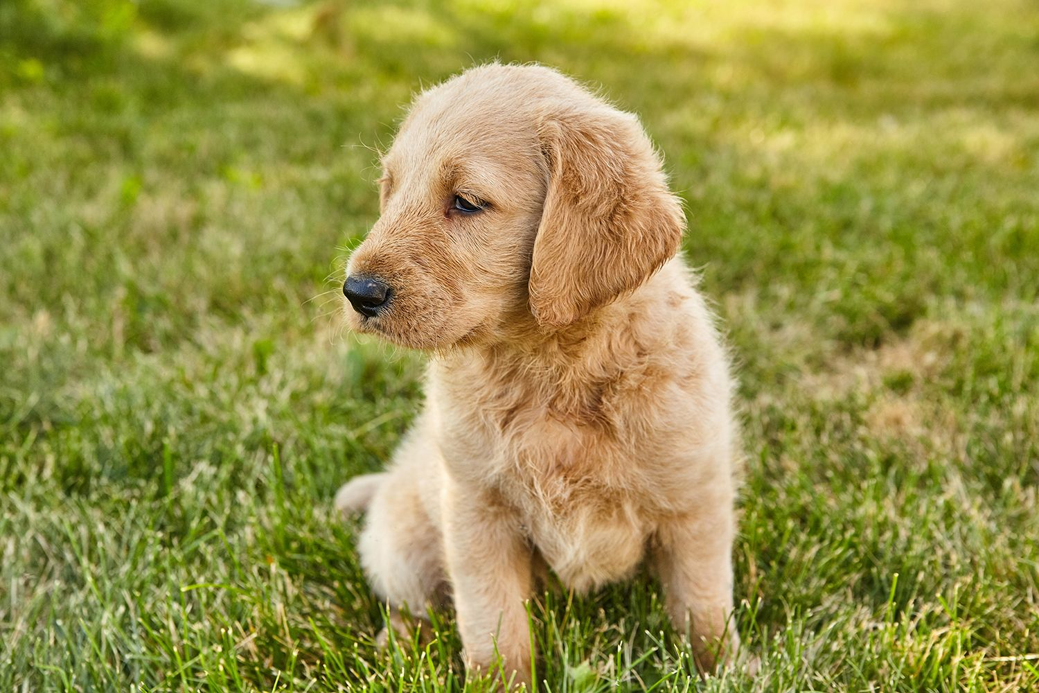 We Have A Few Male Labradoodle Puppies Left Asking 500 For Them