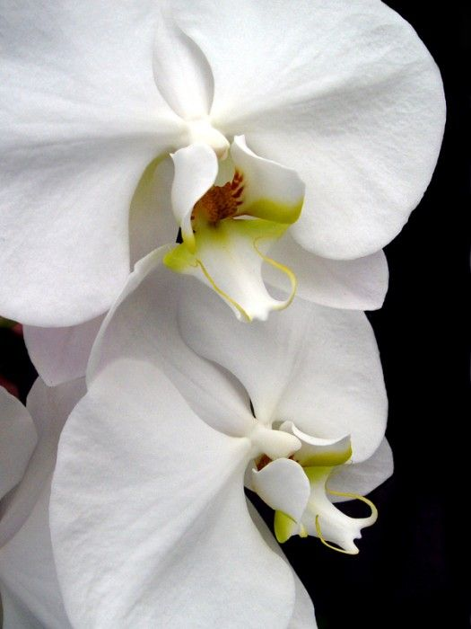 View Photo Two White Orchids Orchid Flower Orchids White Orchids