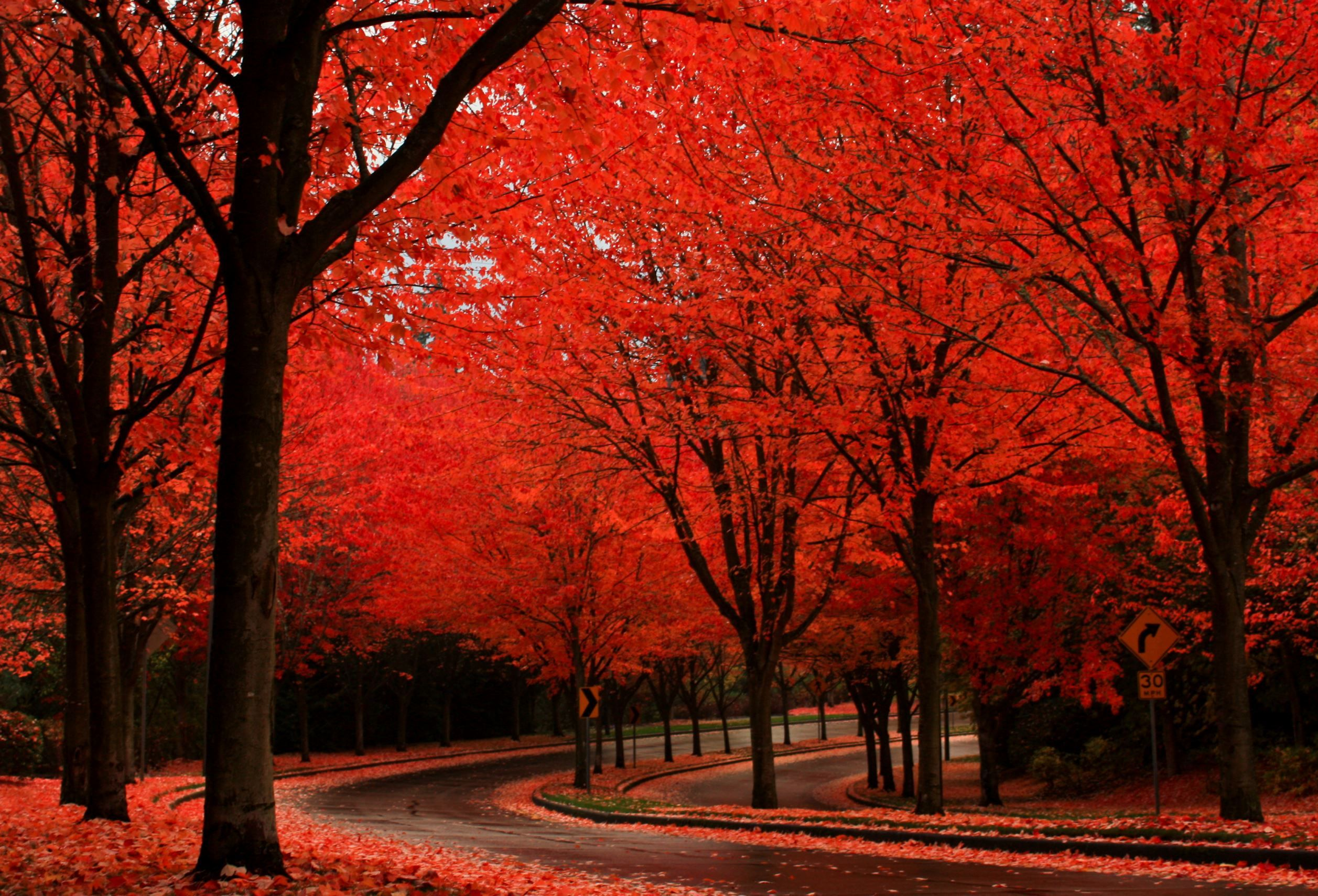 Tree tunnels around the world maple trees portland - Decorative trees with red leaves amazing contrasts ...