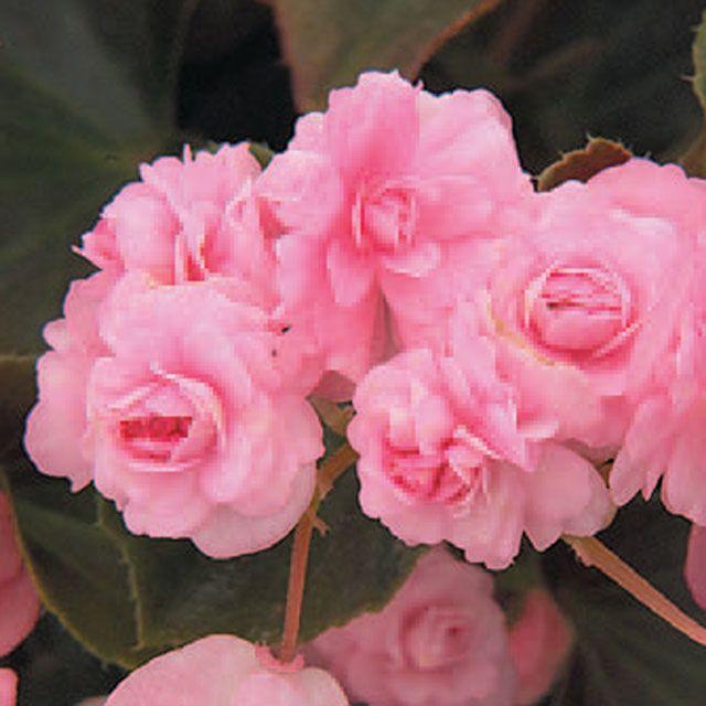Pink 4 5 Botanical Name Begonia Semperflorens Common Name Begonia Plants Trees To Plant Planting Flowers