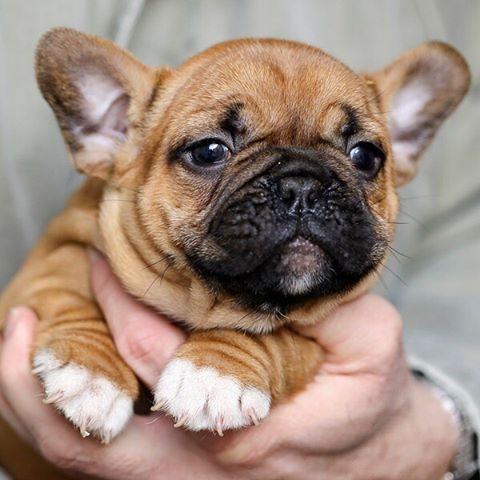 French Bulldog Dog Breed Information Cute Small Dogs Cute