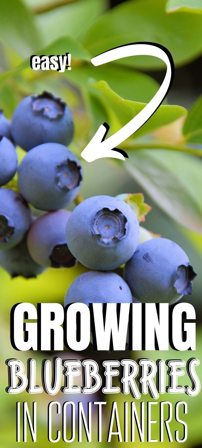 Growing Blueberries in Containers for Summertime Sweets