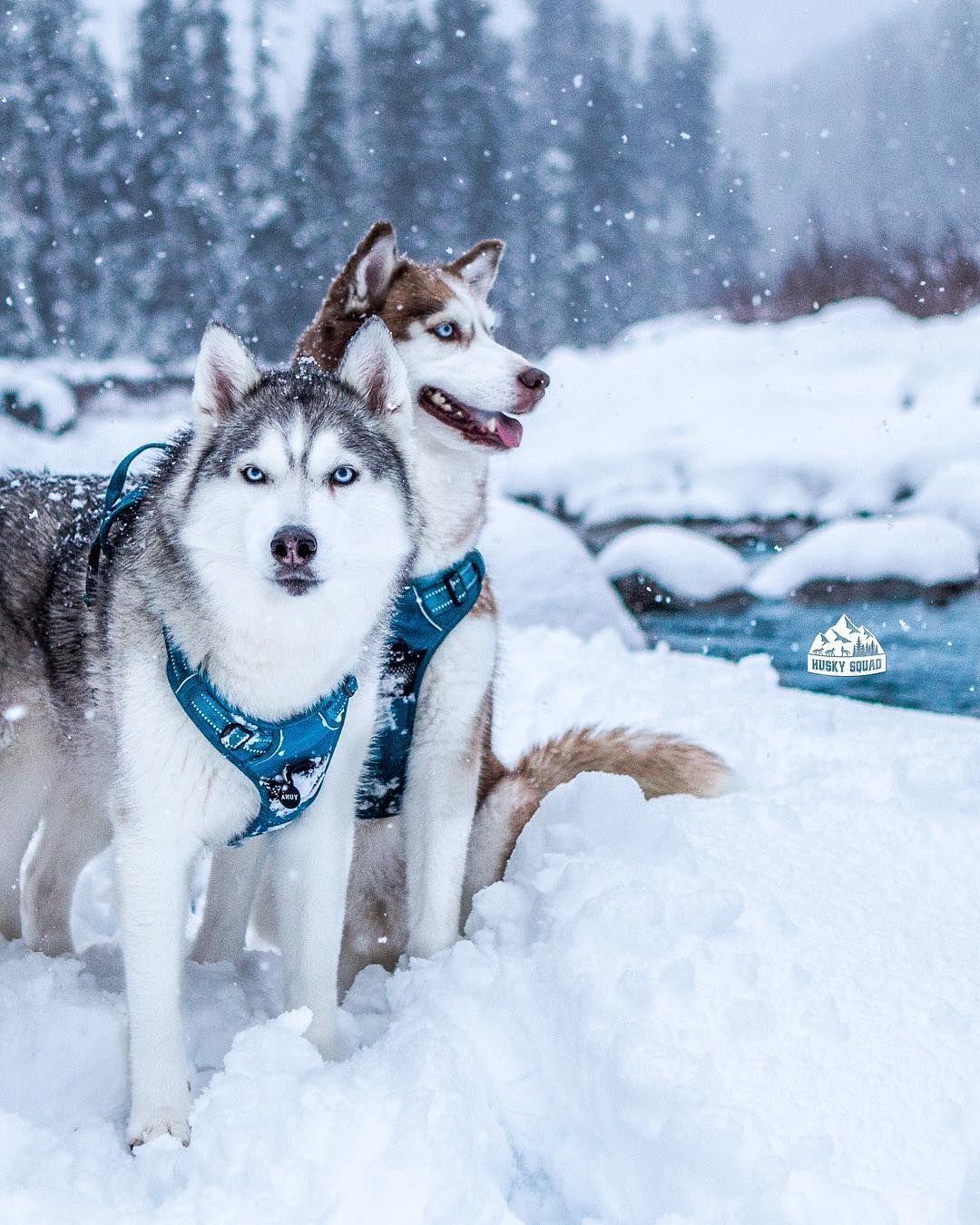 5 Irrefutable Reasons To Own A Siberian Husky Ideas Dogs Cute