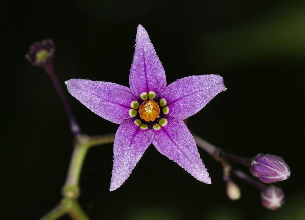 Climbing Nightshade Or European Bittersweet Solanum Dulcamara