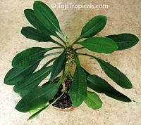 Euphorbia Leuconeura Madagascar Jewel Avec Images Plante