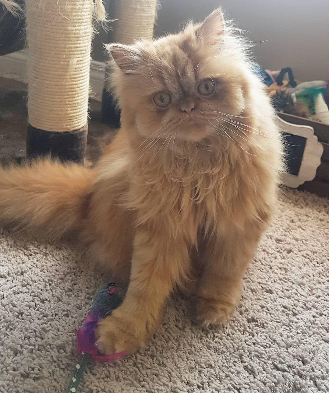 Hi friends!!! . . . . #persian #cat #cute #catsofinstagram #persiansofinstagram #persiancatlovers #cutecat #cutepets #rescuecat #catlovers #cutestcatever #pictureoftheday #catmodel #cats #adoptdontshop #kitten #kitty #photogenic #smooshface #grumpyface #love #instacat #instapet #animallover #buzzfeedanimals #dailyfluff #catoftheday #grumpycat #Excellent_Kittens #BESTCATS_OFTHEWORLD
