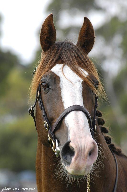 Irish Sport Horse stallion Icarus Frosty