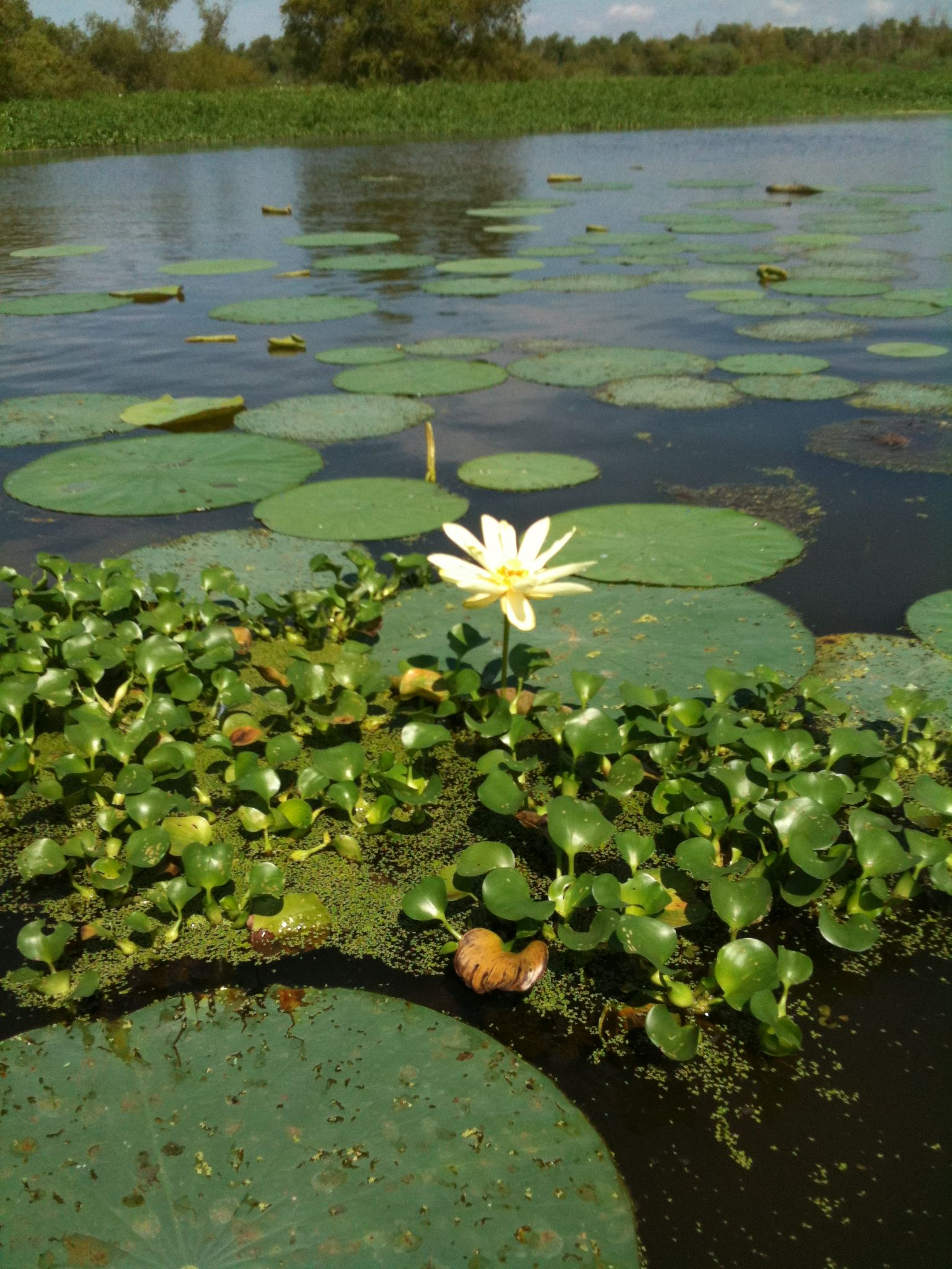 Lotus Flower I Think Cant Spell The French Name We Refer To It