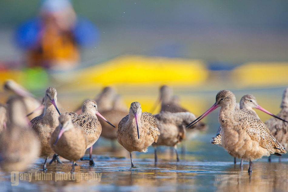 Marbled Godwit, bird watching by kayak in Elkhorn Slough, Calafornia.