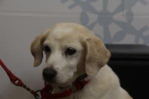 Adopt Angel On Dog Sounds Beagle Dog American Eskimo Dog