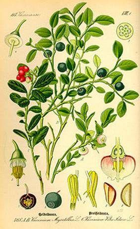 http://upload.wikimedia.org/wikipedia/commons/thumb/3/3a/Illustration_Vaccinium_myrrtillus0.jpg/220px-Illustration_Vaccinium_myrrtillus0.jpg...