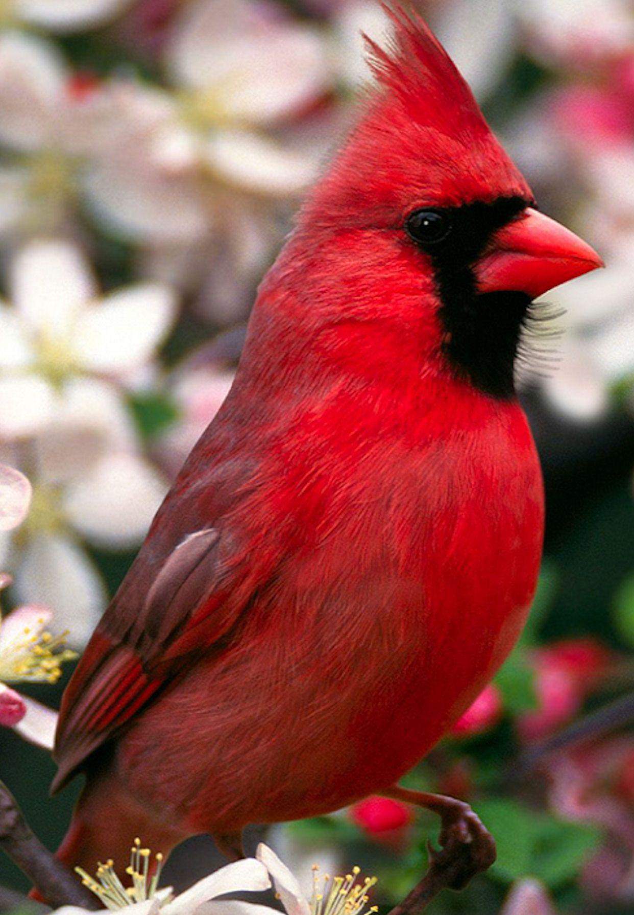 Cardinal north carolinas state bird birds fowl pinterest cardinal north carolinas state bird buycottarizona