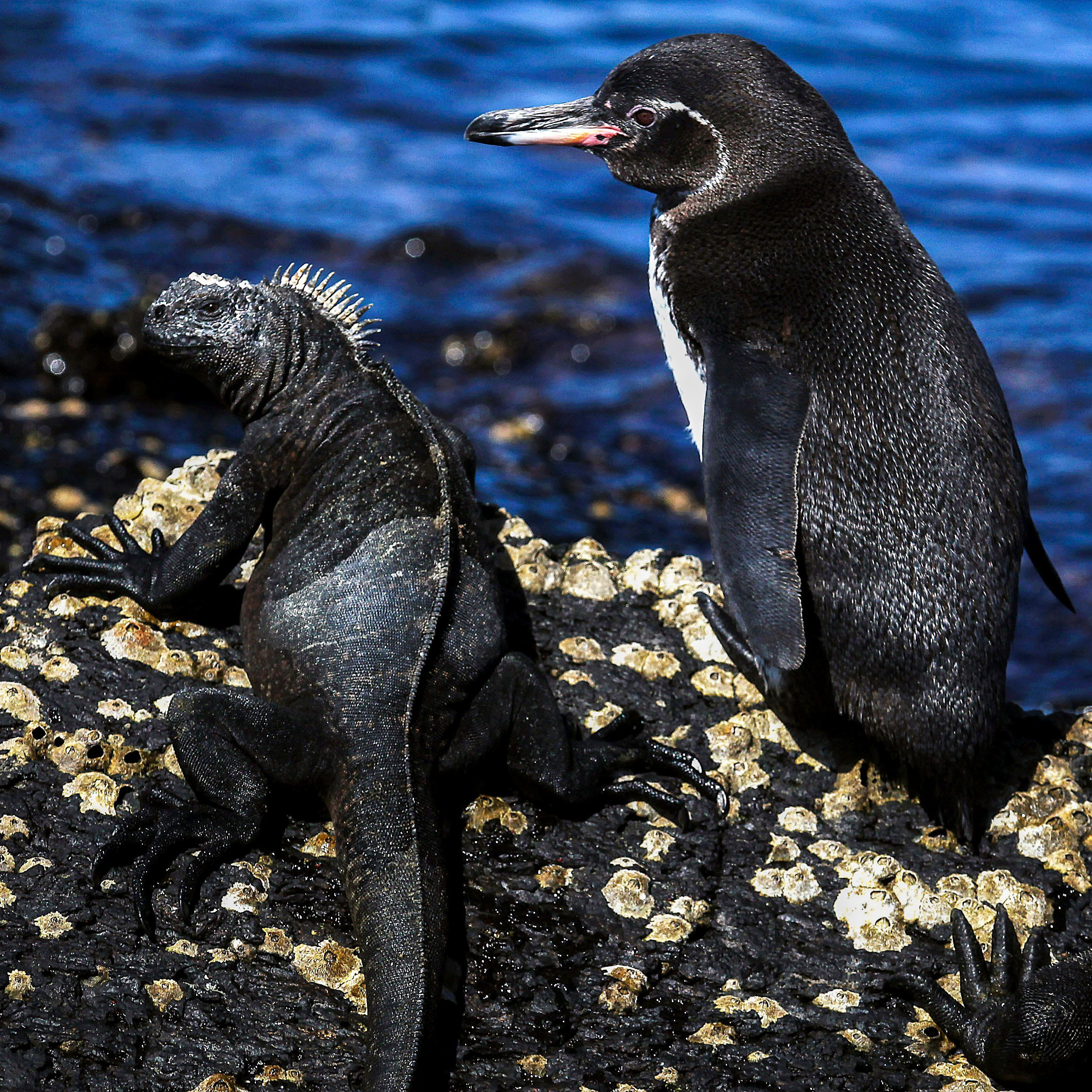 Marine Iguana and a Penguin. Amazing to see such different