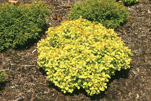 Sunsation Barberry Zone 3 H 2 3 W 2 3 Full Sun Beautiful Bright Golden Yellow Foliage With A Landscaping Inspiration Shrubs For Landscaping Garden Shrubs