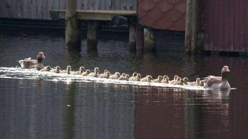 ガチョウの親子、数十羽の子供を連れて春のピクニック : コピペ情報局