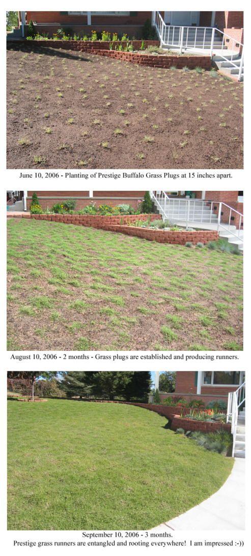Prestige Buffalo Grass Lawn Alternatives Grass Alternative Grasses Landscaping