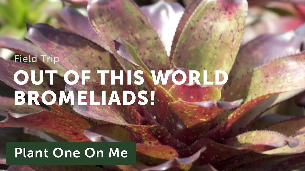 Bromeliad tillandsia tour at nong nooch tropical garden