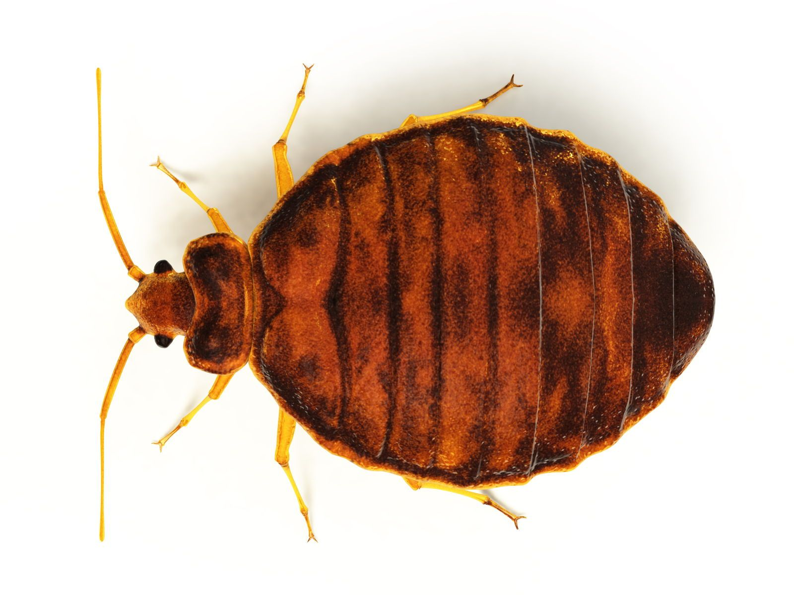 Bed bugs are tiny, wingless, reddishbrown insects