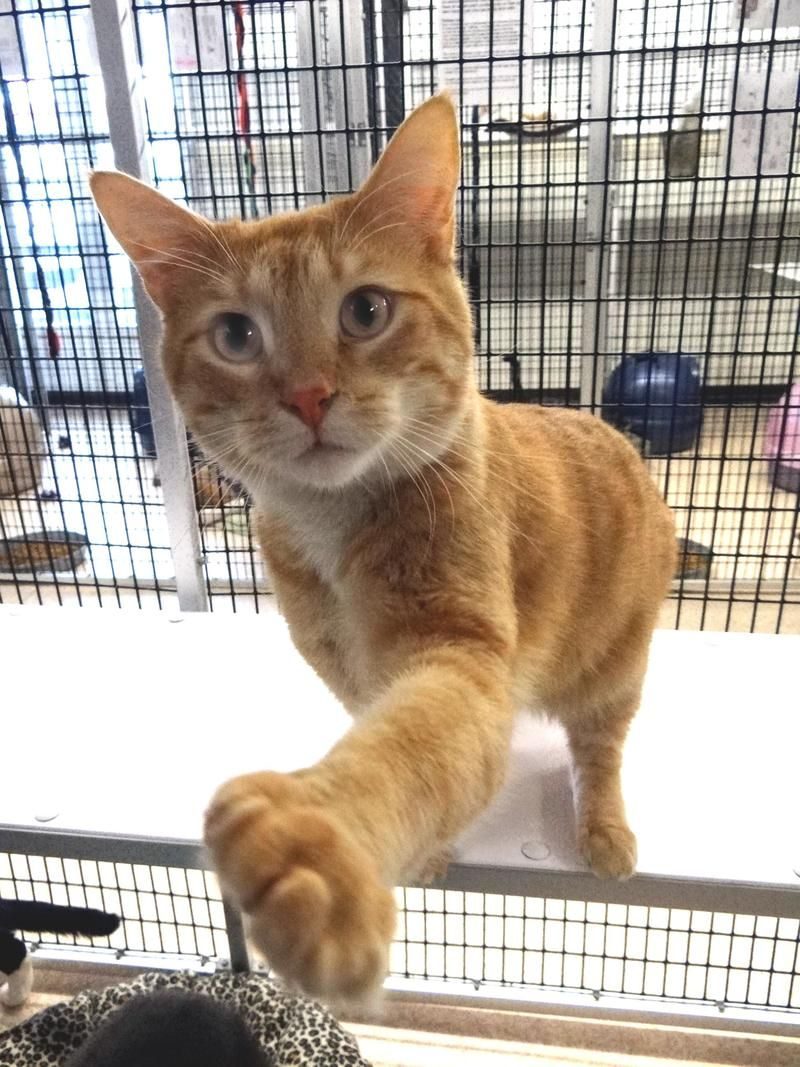 Adopt garfield personal assistant on cats i love dogs