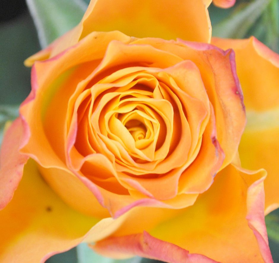 Yellow Rose Natural Forms Yellow Roses Art Forms