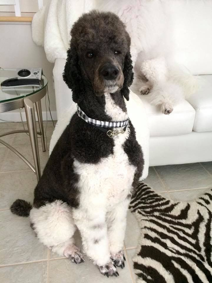 Pin by starlingale shelton on oodles of poodles standard