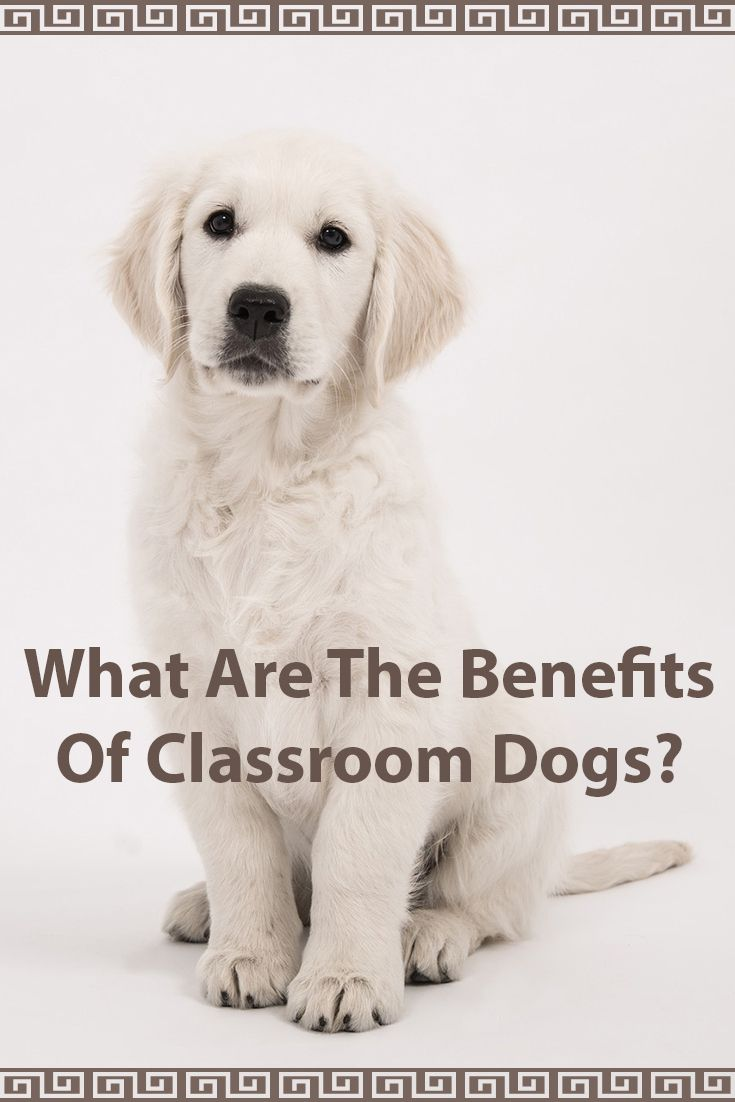 Classroom dogs are the benefits worth the hassle dogs