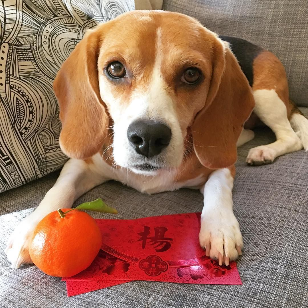 Happy Chinese New Year Beagle Funny Dog Personality Beagle Puppy