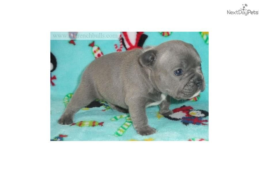 Blue Male Triple Carrier Off Lilac Full Akc French Bulldog Puppy
