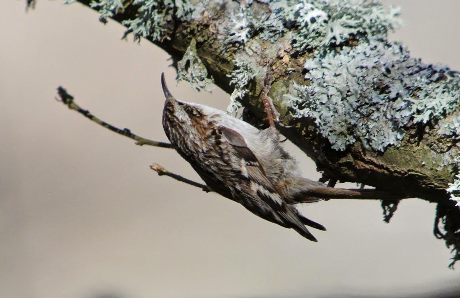 Agateador Común, Short-toed Tree-Creeper, Certhia brachydactyla
