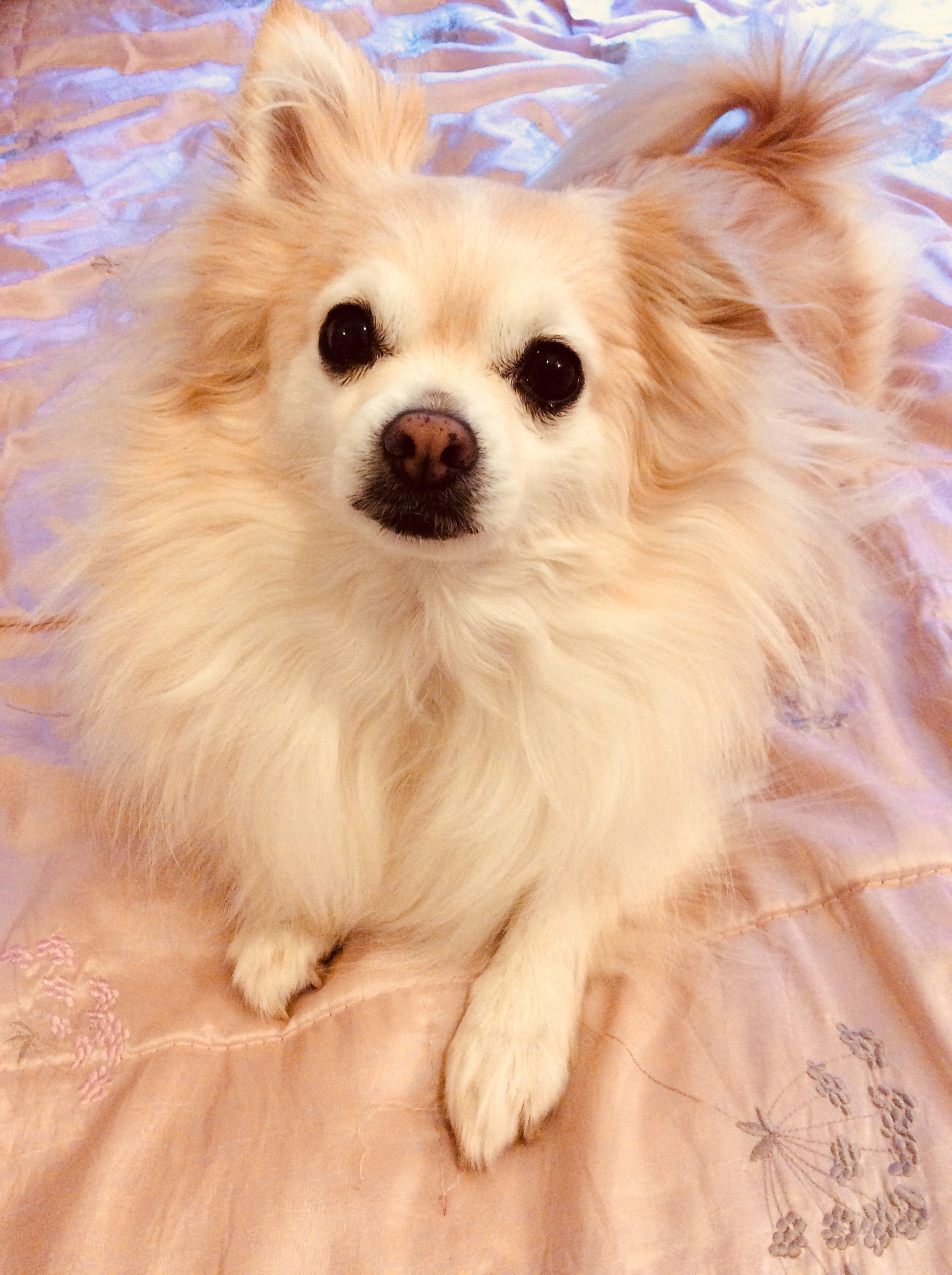 Golden Pomchi Chihuahua Pomeranian Mix Best Dogs Ever Huge Personality Great With Dogs And Kids Not So Great Pomeranian Chihuahua Mix Dogs And Kids Dogs