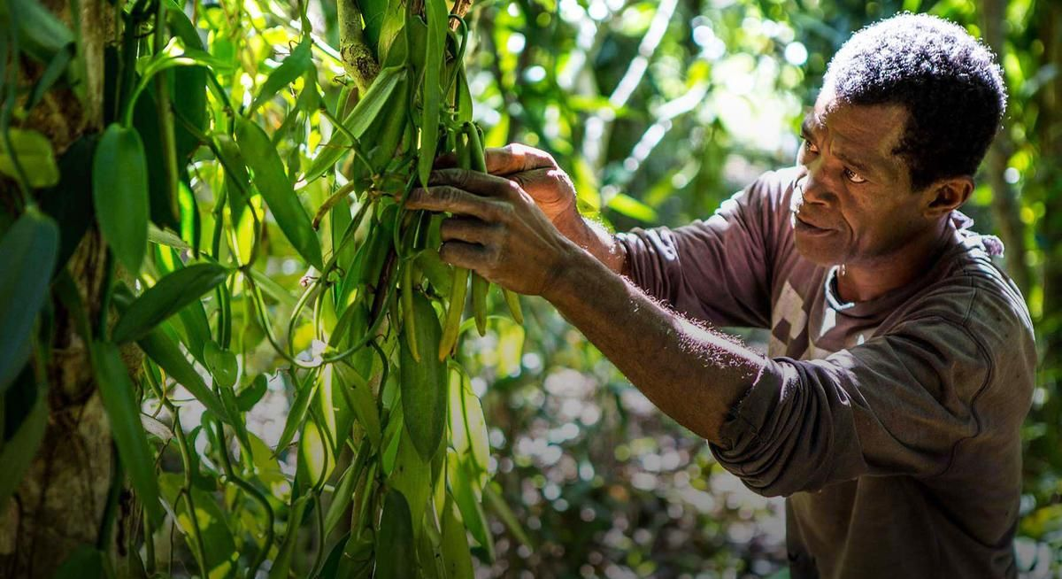 Fighting the vanilla thieves of Madagascar BBC News