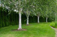 betula underplanting - Google Search