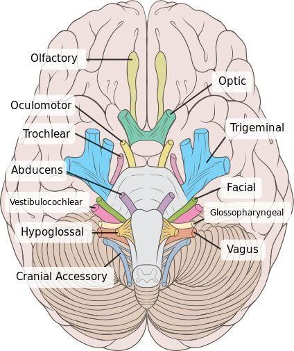 Examining the Trigeminal Nerve #exercise42reviewsheet