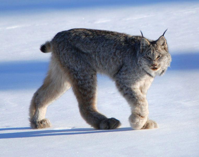 paws - lynx - xx